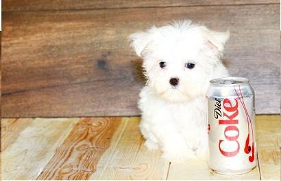 Regalo chihuahua mini toy cachorros gratis