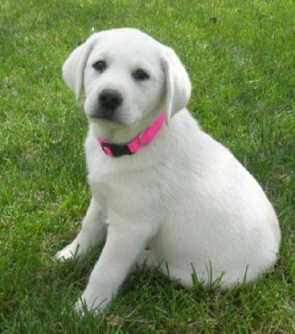 Perrito adorable de Labrador que busca el nuevo hogar