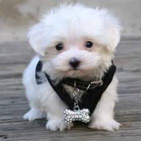 Regalo cachorros de bichon maltes anstinebetis@gmail.com