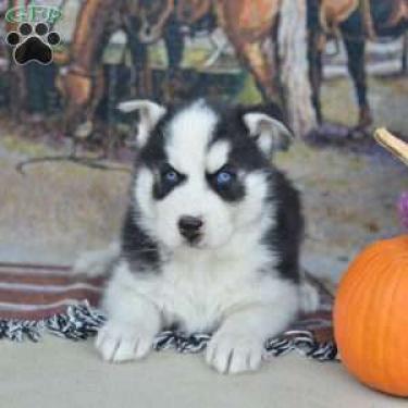 Regalo Siberian Husky cachorros para la adopción