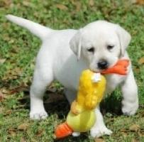 Cachorros de Labrador gratis.