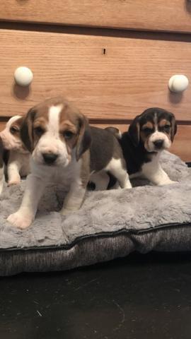 Regalo Beagle cachorros para su aprobación