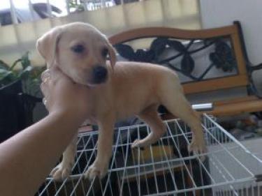 hermoso perrito Cachorros Labrador de Navidad para rehoming