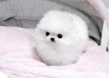 hermoso perrito pomeranian de Navidad para su aprobación