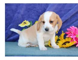 hermoso perrito Beagles de Navidad para rehoming