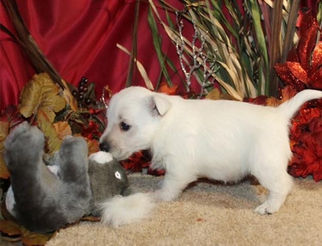 !!REGALO CACHORRO Westy para adop regala de navidad!!