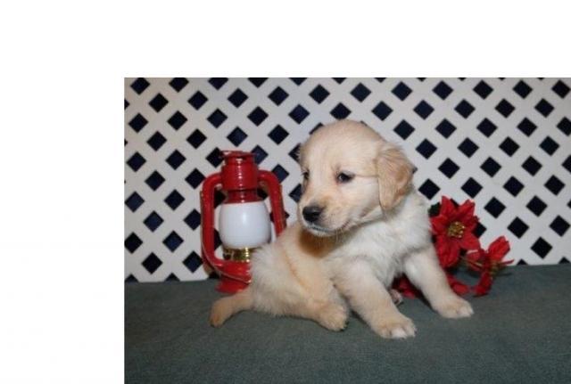 !! REGALO Navidad Golden retriever para adoption !!