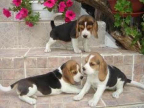 REGALO Navidad Beagle Cachorros Para Adopcion