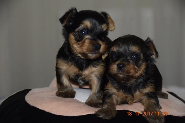 Regalo cachorros yorkshire terrier mini toy con pedigree, los pad