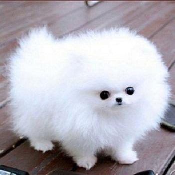 Regalo lindo pomeranian toy cachorros lindo