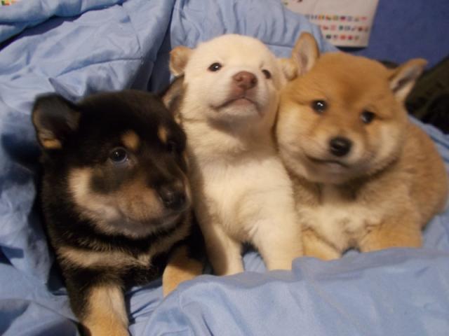 Regalo Shiba Inu cachorros listo