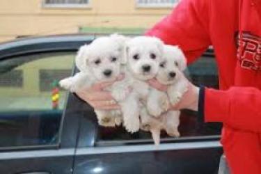 REGALO Navidad Bichón Maltés Cachorros Mini Toy Para Adopcion