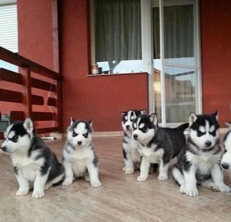 REGALO Navidad Husky Siberiano Cachorros Mini Toy Para Adopcion