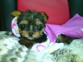 Regalo mini toy yorkshire terrier cachorros libre nuevo