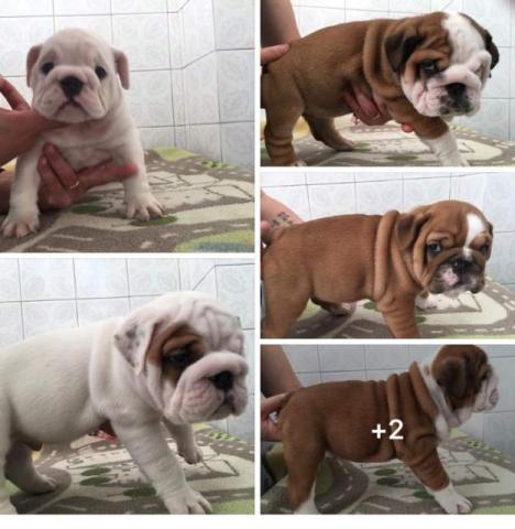 Bulldog Inglés. Cachorros pura raza.