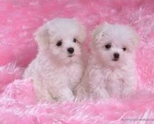 Regalo Navidad Maltes Cachorros Para Su Adopcion
