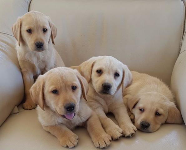 Regalo de Labrador cachorros