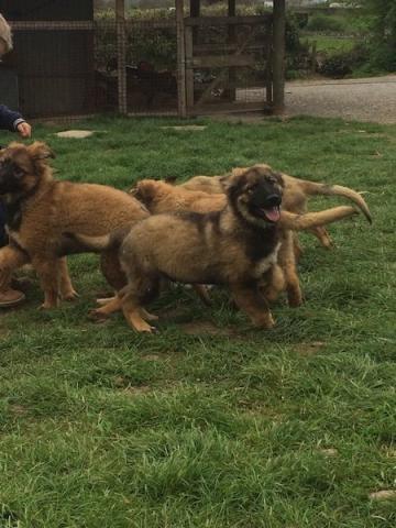 Regalo de camada de pastor aleman cachorros