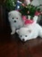 Regalo cautivador cachorros de pomerani anstinebetis@gmail.com