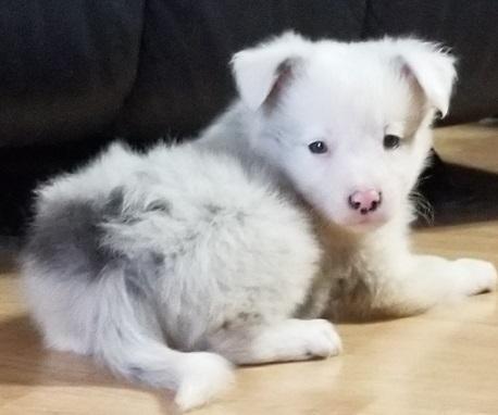 Regalo Cachorros Border Collie en adopcion