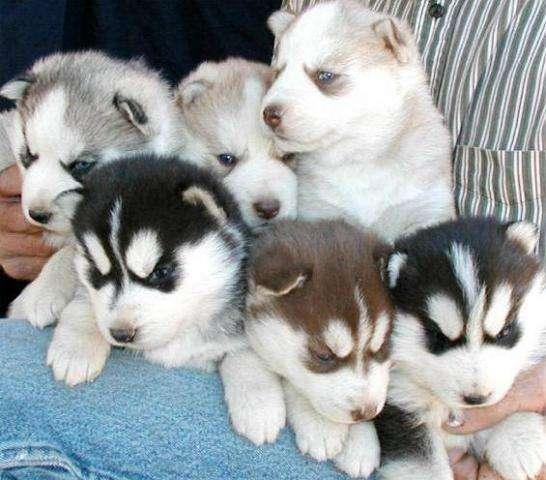 Cachorros husky navidad