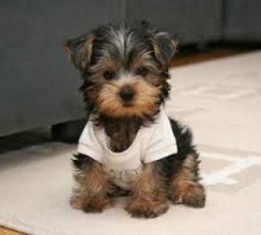 Regalo adorable yorkshire terrier mini toy cachorros