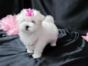 Regalo Cachorros Bichon maltes Miniaratura para su adopcion libre