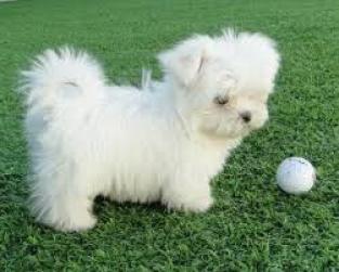 Regalo cachorros bichonn malteses mm anstinebetis@gmail.com