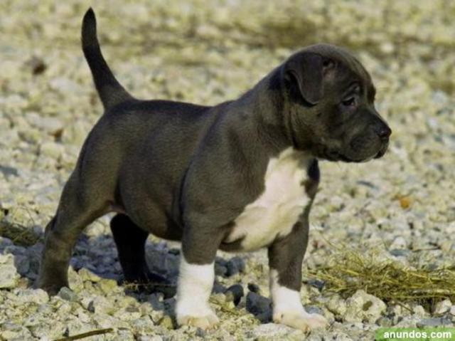 cachorro de 6 meses pitbull Americano en Adopcion