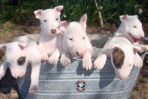 Regalo dulce y saludable cachorros bull terrier