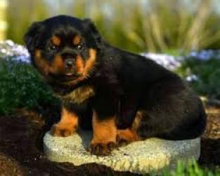 Gratis cachorrita de rottweiller hembra vacunada