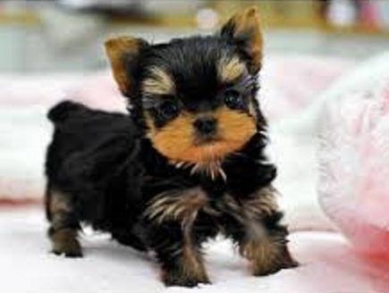 Regalo yorkshire terrier cachorros en adopción 1 foto