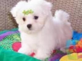 REGALO Bichon maltés Cachorros Para La Adopcion