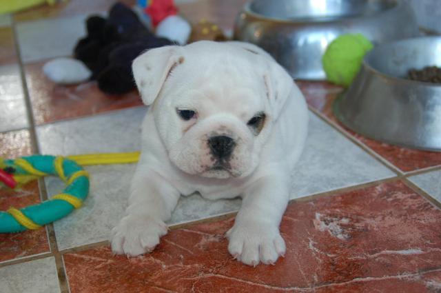 REGALO Bulldog ingles Cachorros Para La Adopcion