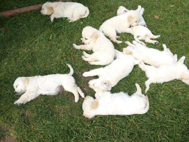 Cachorros Golden Retriever Vacunados Desparasitados