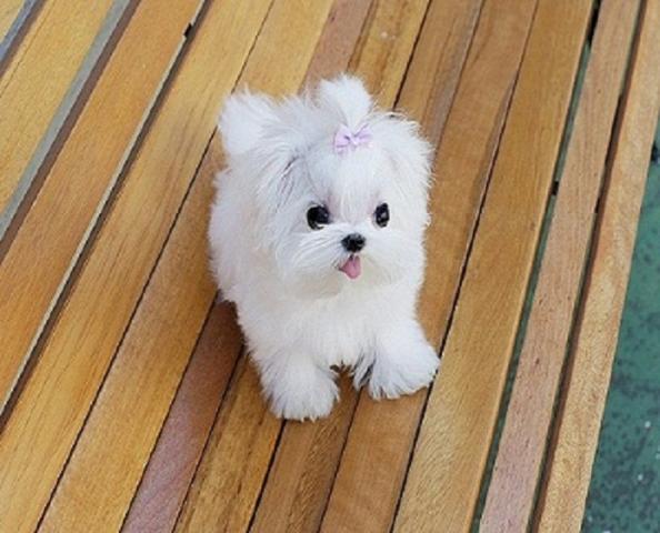 Regalo gratis bichon maltes cachorros toy mini