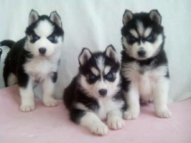 Saludable siberiano husky para adopción