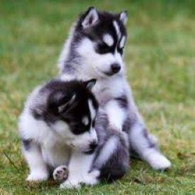 Regalo cachorros husky siberiano femenino para la adopción