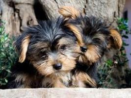 mini cachorritos de Yorkshire toy
