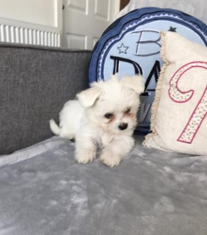 REGALO cachorro Bichon maltese para adopcion