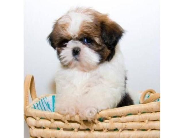 Gratis hermosos cachorros shih tzu adopcion