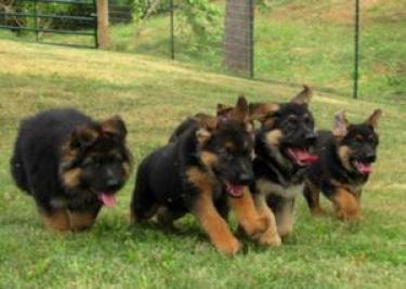 Camada pastor alemán cachorros