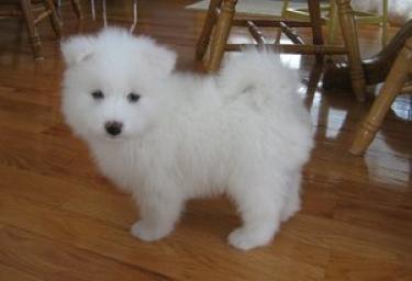 Preciosa camada de cachorros de Samoyedo