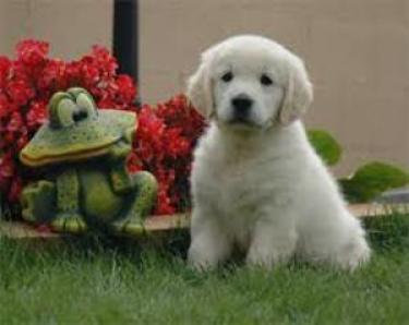 los Adorable perritos Golden Retriever