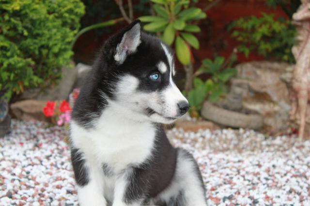 perrito hermoso del husky siberiano de la Navidad para la adopció
