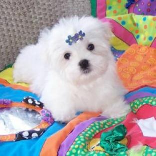 hermoso cachorro de Navidad maltés para su aprobación