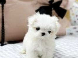 Hermoso cachorro de Navidad maltés para adopción