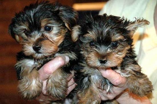 Regalo Lindos cachorros yorkshire terrier.. 52