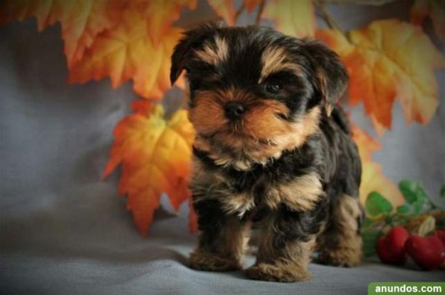 Regalo cachorros toy, de yorkshire terrier,