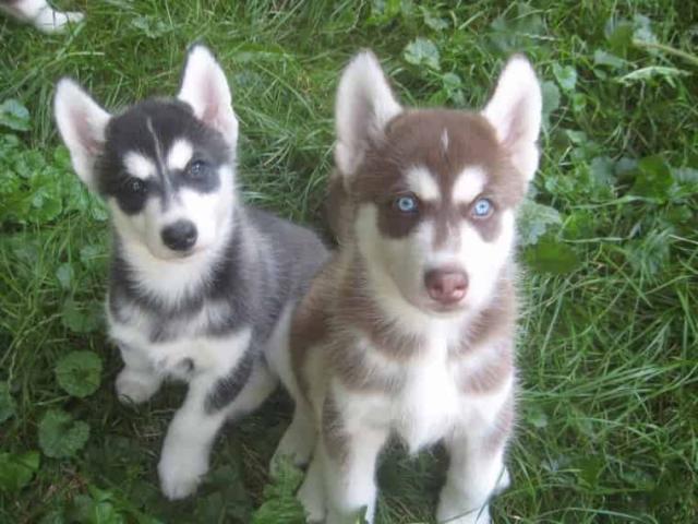 Regalo Husky Siberiano raza pura
